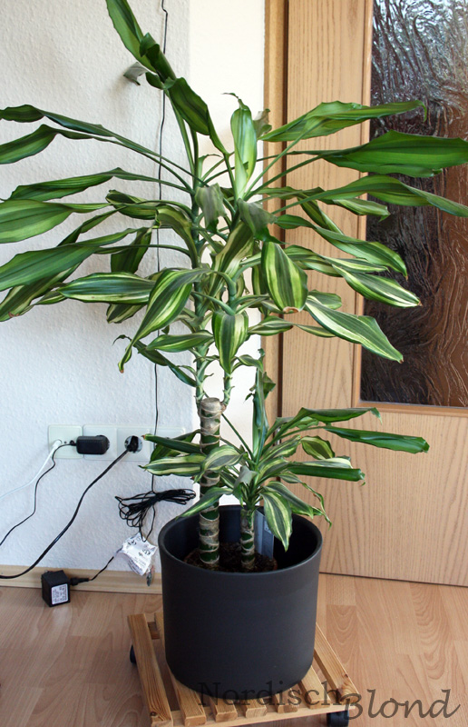 Dracena-fragrans-Drachenbaum
