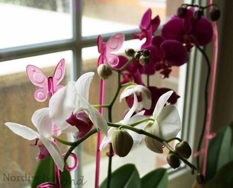 Orchidee-phalaenopsis-rosa-weiß